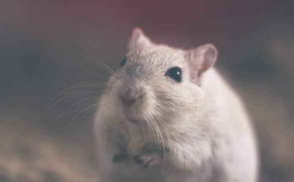 Extermination de souris en région parisienne