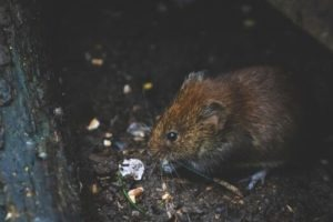 Rat en train de manger