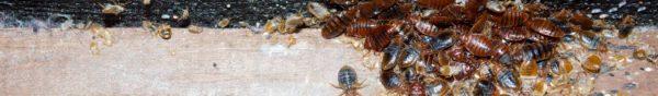 Quelles sont les causes d'une invasion de punaises de lit ?