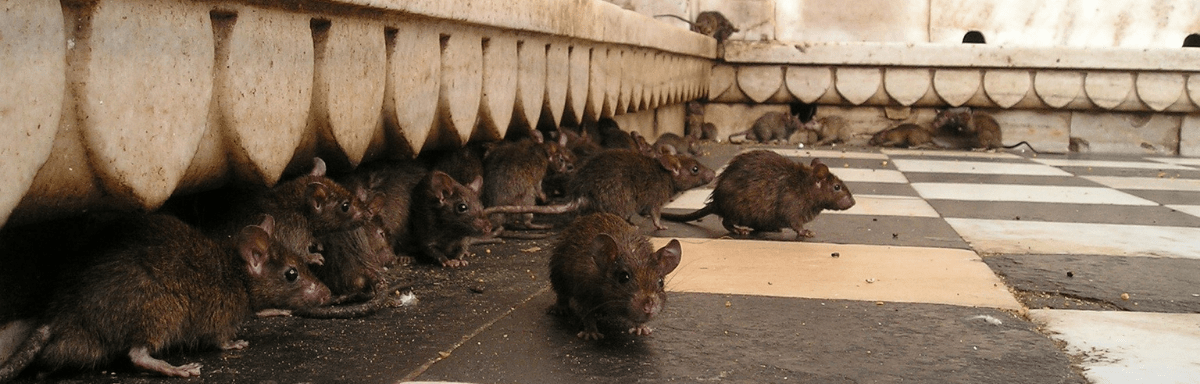 rats parisiens