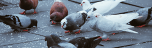 invasion pigeon