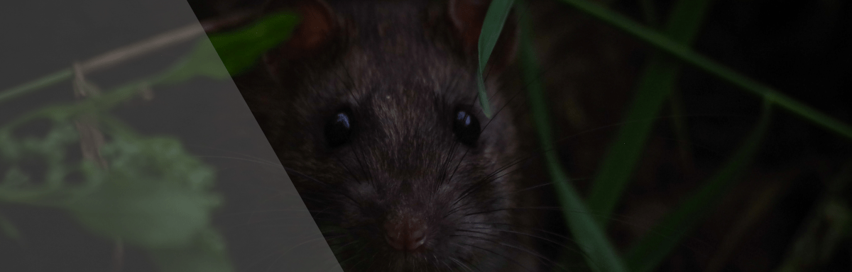 rat paris