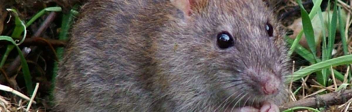 Maladie du rat : quelles sont-elles et comment les prévenir?