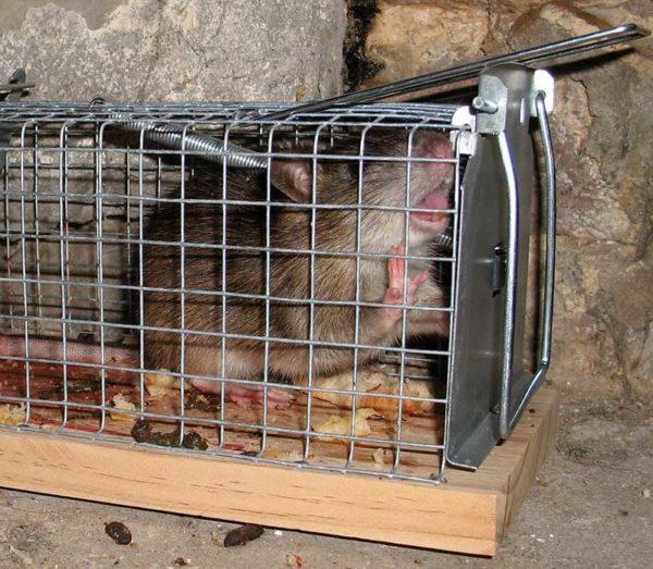 Où acheter du poisson pour rat?