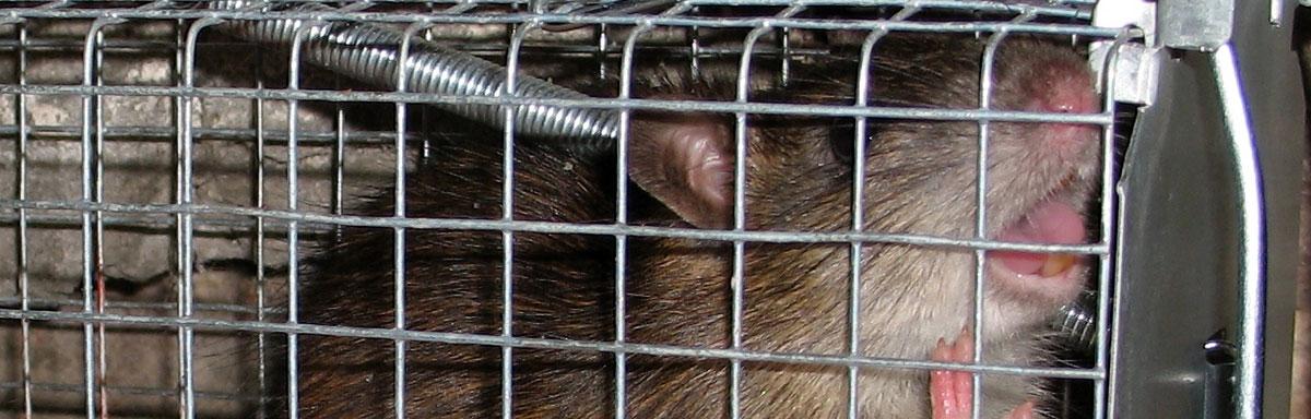 Poison pour rat : lequel utiliser et où en trouver?