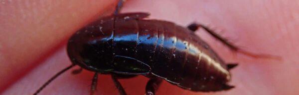 Quels dangers représente la présence de blatte noire chez vous ?
