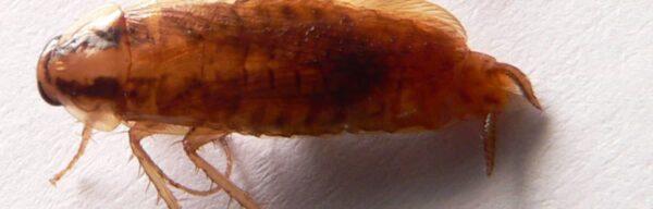 Cafards jaunes : quel cycle de vie et comment prévenir une infestation ?