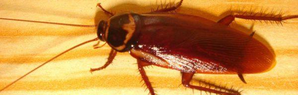 Quels produits anti cafard pour se débarrasser efficacement des blattes ?