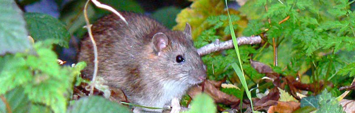 Recettes de grand-mère pour tuer les rats